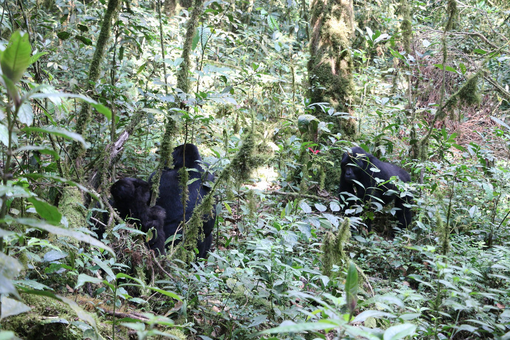 Visit Uganda Gorillas