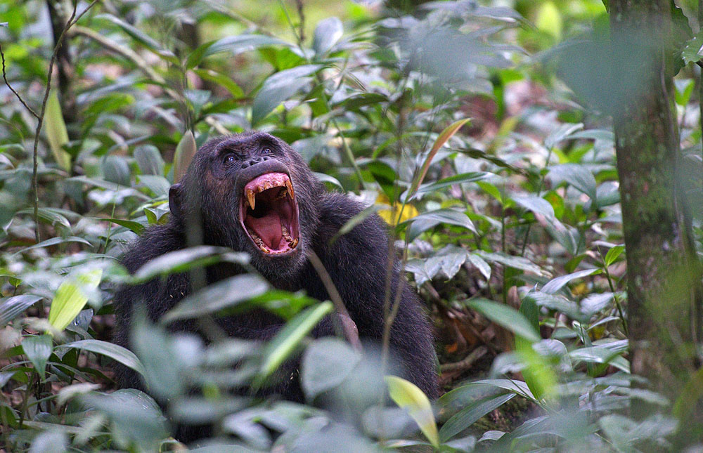 Walk with Chimpanzees in Uganda